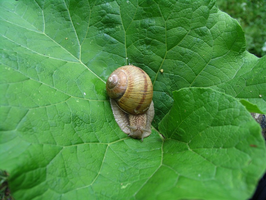 "Snail on a leaf of burdock, Reserve ""Royal Forest"", Glodeni"